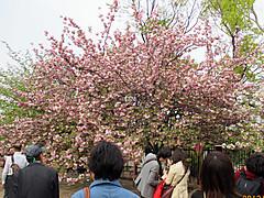 Sakura_zohekyoku3