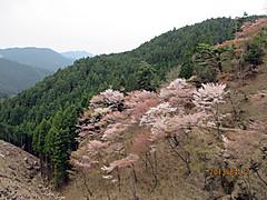 Sakura_okusen1