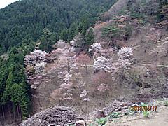 Sakura_okusen2_2