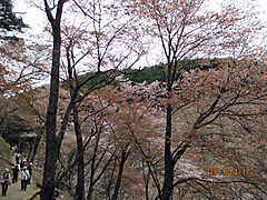 Sakura_okusen3