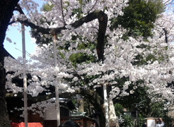 150331hanami_yasukuni