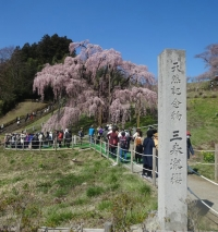 1904miharu_sakura2