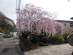 160425kakunodate_shidare2