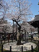 1704hanami_yasukuni_hyohon
