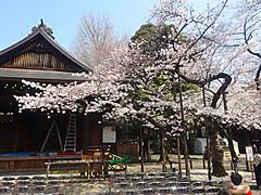 1704hanami_yasukuni_hyohon2