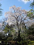 1704hanami_rikugien_yamasakura